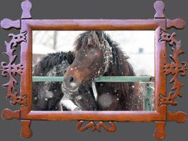 Гуцульська кінь ніхто не має ім'я - Гуцульські коні взимку