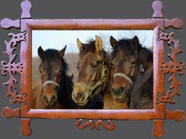 Гуцульська кінь ніхто не має ім'я - різноманітність гуцульських коней