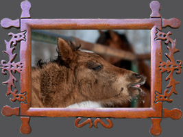 Гуцульська кінь ніхто не має ім'я - Гуцульські коні лошата